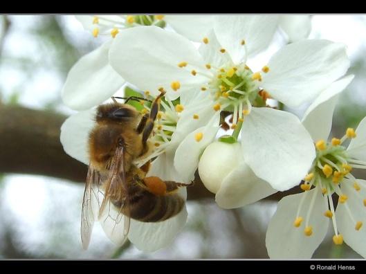 Frühling Obstblüte Biene