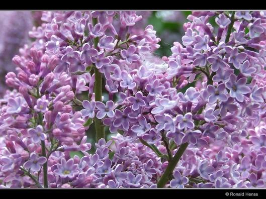 Frühlingsblüten Flieder